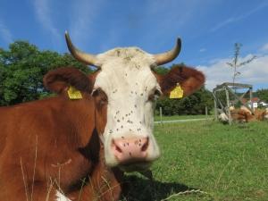 Kuhpatenschaft Narzisse